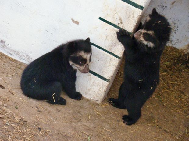 urso-de-óculos 1 (Foto: Divulgação)