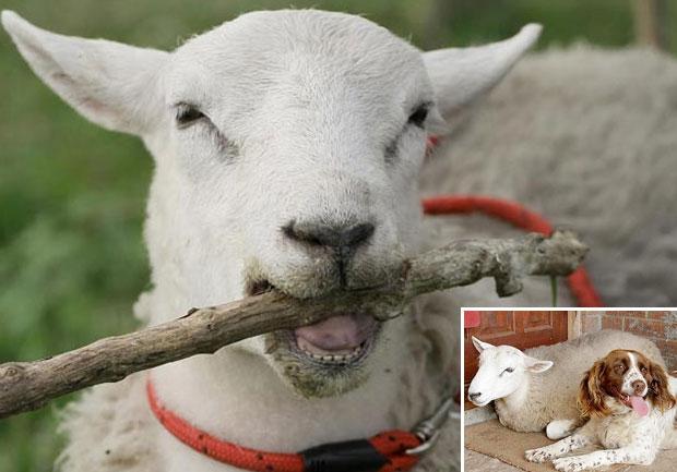 O carneiro se afeiçoou à cadela Jessie e passou a segui-la e  imitá-la (Foto: Reprodução/The Sun)