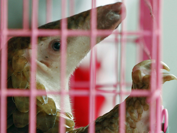 A espécie corre risco de ser extinta devido ao comércio ilegal entre países do Sudeste Asiático e a China (Foto: Chaiwat Subprasom/Reuters)