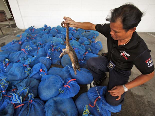 Autoridade da Tailândia mostra exemplar de pangolim que estava dentro de embalagem, pronto para ser enviado à China. A polícia apreendeu 97 animais neste fim de semana (Foto: Chaiwat Subprasom/Reuters)