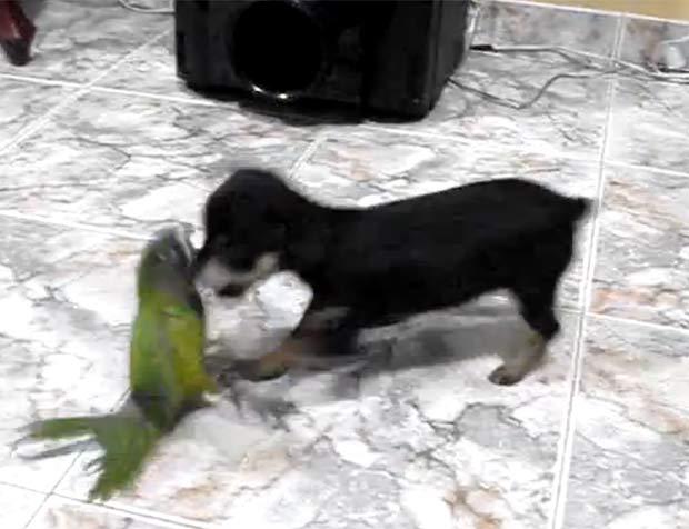 Dono filmou papagaio e filhote de cão 'brigando'. (Foto: Reprodução/YouTube)