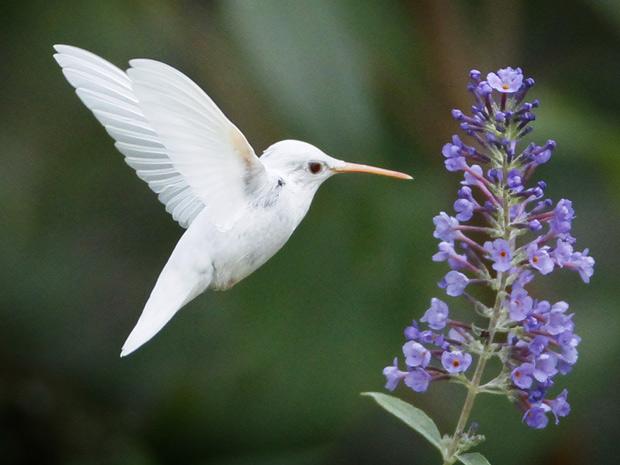 Foto de beija flor na flor 71