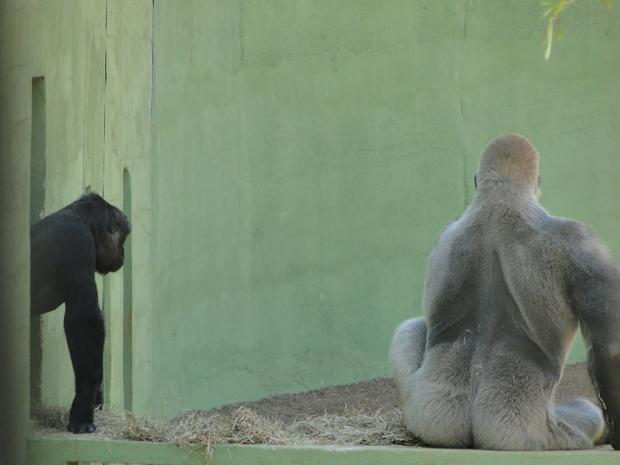 Gorila espera a saída de uma das fêmeas (Foto: Pedro Triginelli/G1)