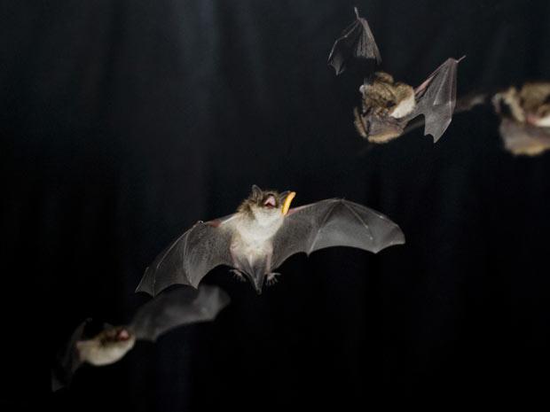 Morcegos durante voo estudados na Dinamarca  (Foto: Cortesia Lasse Jakobsen & Coen Elemans])