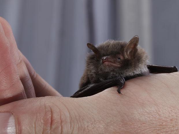 Exemplar da espécie de morcego estudada  (Foto: Cortesia: Lasse Jakobsen & Coen Elemans)