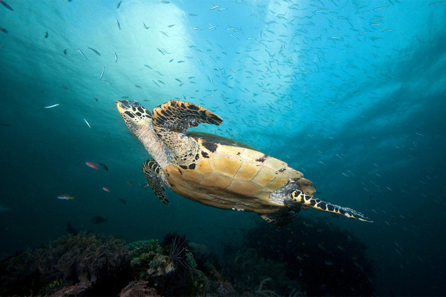 Tartaruga da espécie Eretmochelys imbricata, uma  (Foto: Wallace J. Nichols - CI - Divulgação)