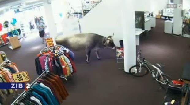 Após invadir loja de artigos esportivos, vaca virou estrela de comercial de TV. (Foto: Reprodução)
