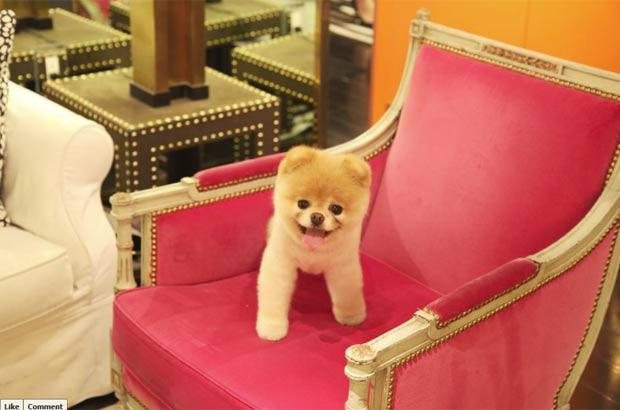 'Boo' é o cão mais famoso da internet. (Foto: Reprodução/Facebook)