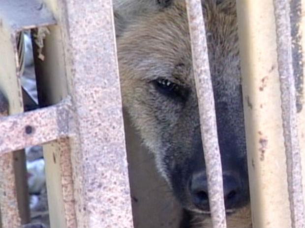 Lobo guará é capturado em propriedade rual em Presidente Kennedy (Fot Reprodução/ TV Gazeta)