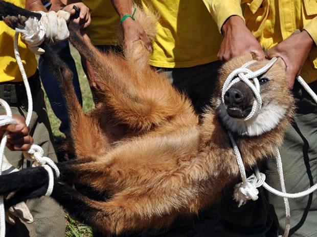 Lobo-guará (Foto: Geraldo David/Arquivo pessoal)
