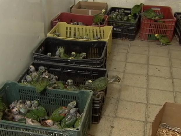 Os filhotes de papagaio e maritacas foram colocados em caixotes em uma sala improvisada do Cetas. O tratamento especial deve demorar dois anos, até que as aves possam ser reincorporadas à natureza (Foto: Reprodução/TV Globo)
