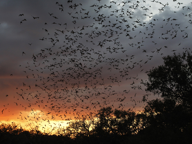 morcegos saem da caverna no entardecer (Foto: Eric Gay/AP)