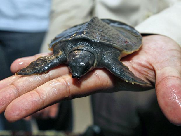 tartaruga nariz-de-porco (Foto: Enny Nuraheni/Reuters)