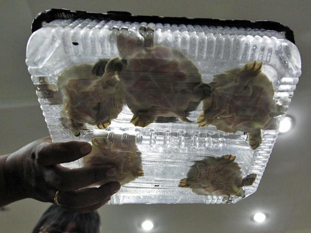 tartarugas nariz-de-porco (Foto: Enny Nuraheni/Reuters)