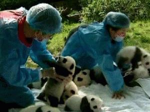 Pandas recém-nascidos foram tratados em Chengdu, na China. (Foto: Reuters / via BBC)