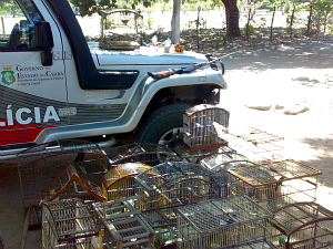 Polícia Militar apreende 100 galos de briga e 20 pássaros em sítio no Ceará (Foto: Polícia Militar/Divulgação)