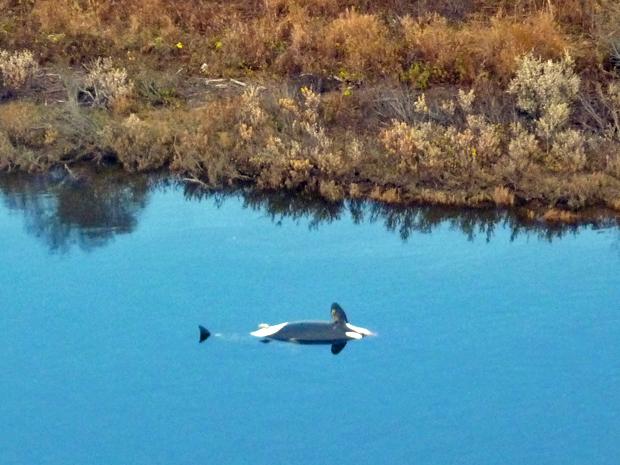 Carcaça de baleia-orca foi encontrada em rio do Alasca no último dia 8 de outubro. Dos três mamíferos aquáticos observados por moradores e pelo serviço ambiental dos EUA, dois morreram de causas desconhecidas  (Foto: AP)