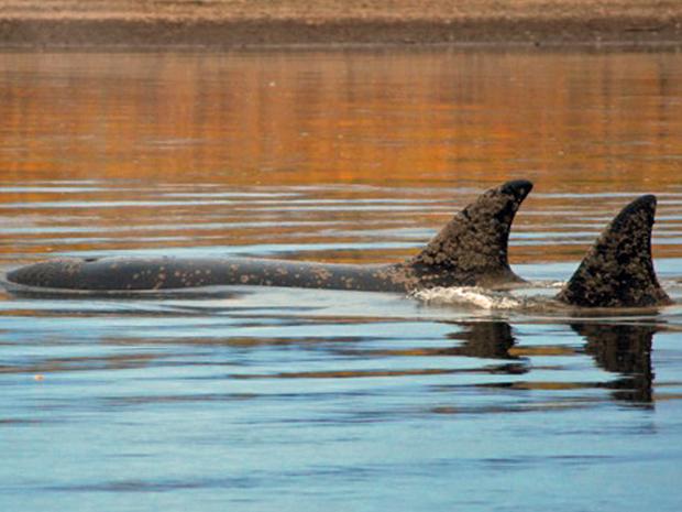Dois espécimes de orca foram vistos em 4 de outubro no Rio Nushagak, no Alasca. Três animais desta espécie chegaram a uma distância de 48 quilômetros do oceano. Entretanto, dois não sobreviveram (Foto: AP)