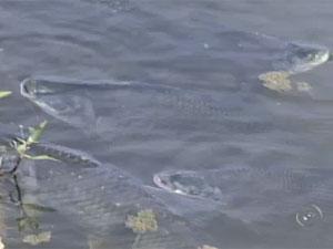 Peixes morreram em trecho do Rio Sorocaba  (Foto: Reprodução/ TV Tem)