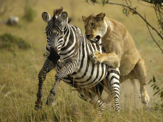 caçada na África (Foto: John Reiter / Barcroft USA / Getty Images)