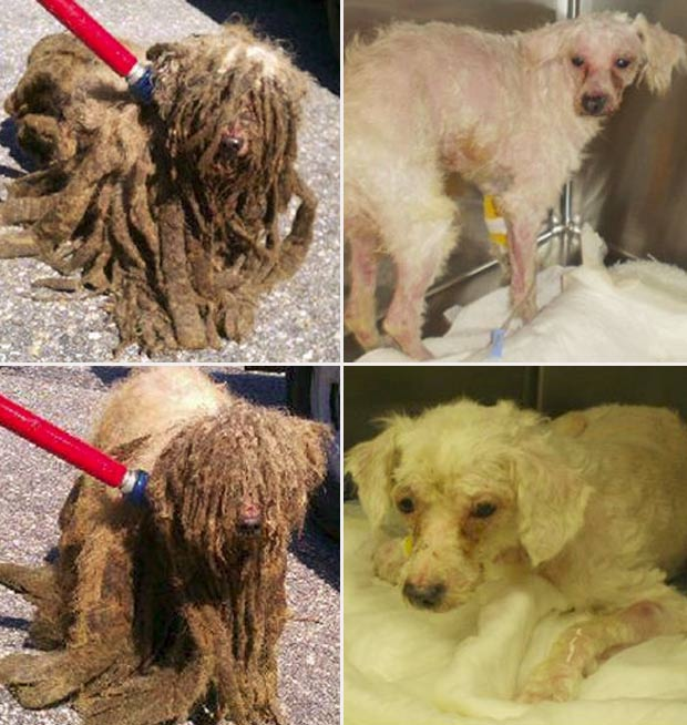 Cães foram encontrados com o pelo sujo e emaranhado. (Foto: Divulgação/SPCA)