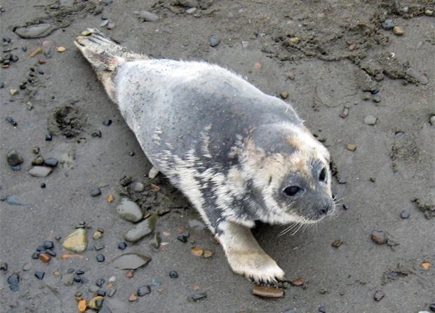 Foca-anelada doente no Alasca. (Foto: Reuters)
