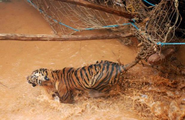 Foi necessária uma operação de resgate de 28 horas de duração para tirar esta tigresa de 3 anos de idade de um poço de 6 metros de profundidade em Nagpur na Índia. O animal estava preso no buraco havia quatro dias e foi resgatado nesta sexta-feira (14). (Foto: AFP)