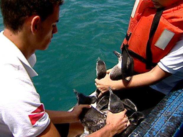 Pinguins são reabilitados no Espírito Santo (Foto: Reprodução/ TV Gazeta)
