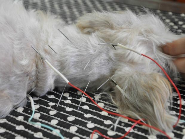 Cão passa por sessão de acupuntura em Campo Grande (Foto: Ricardo Campos Jr. / G1 MS)