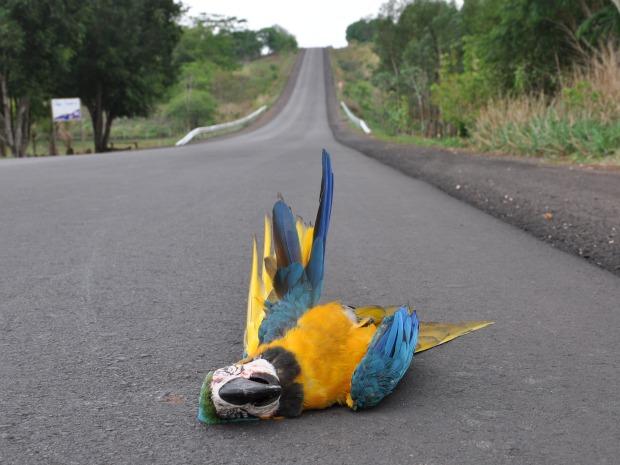 Homem flagra arara atropelada na BR 359 em MS (Foto: Marcos dos Reis / Alcinópolis.com)