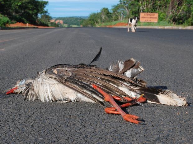 Outro flagrante, desta vez uma seriema foi encontrada na BR 359 (Foto: Marcos dos Reis / Alcinópolis.com)
