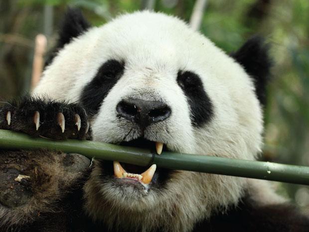 Panda gigante comendo bambu (Foto: Divulgação)