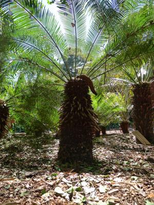 Planta da espécie 'Cycas taitungensis' (Foto: Nathalie Nagalingum/Science/AAAS)