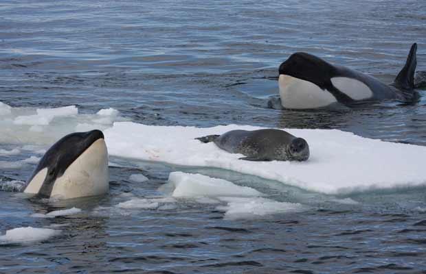 Orcas da Antártida trabalham em grupo para capturar foca (Foto: Robert Pitman)