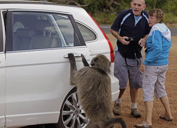 Casal fica surpreso ao ver babuíno abrir porta de seu carro. (Foto: Schalk van Zuydam/AP)