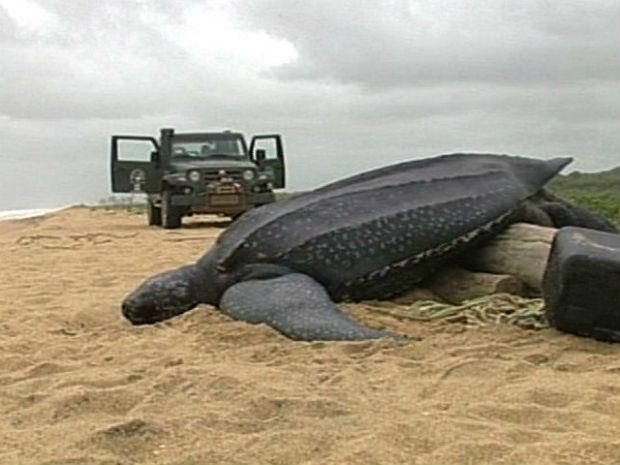 Tartaruga gigante é encontrada em praia do Norte do ES (Foto: Reprodução/TV Gazeta)