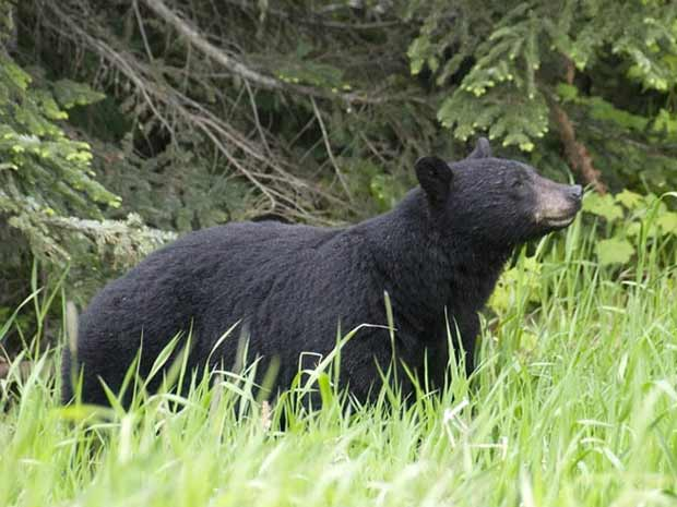 Foto genérica de urso (Foto: BBC)