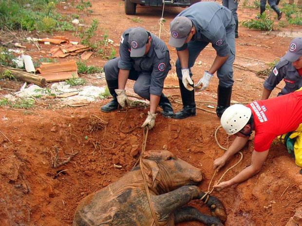 Boi é resgatado sem ferimentos após cair em fossa séptica em Montes Claros, no Norte de MG (Foto: Divulgação / Corpo de Bombeiros)