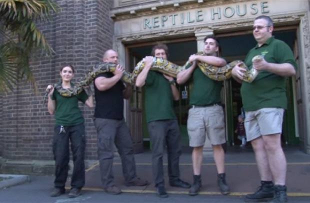 Píton de 5,2 metros e 80 quilos foi carregada por 5 pessoas. (Foto: Reprodução/Site do Zoo de Londres)