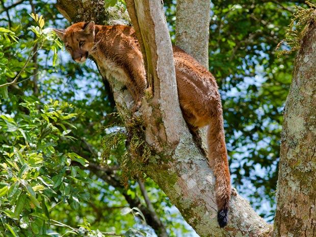 Onça está em árvore desde às 10h30 desta segunda (24). (Foto: Divulgação)