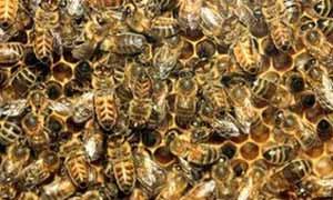 Foto genérica de abelhas (Foto: BBC)