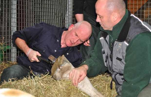 Girafa recebe tratamento de 'pedicure' na Escócia (Foto: BBC)