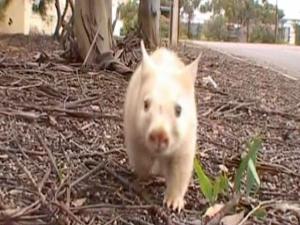 Vombate albino foi tratado por voluntária na Austrália. (Foto: BBC)