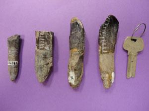 Análise de fósseis dos dentes dos saurópodes guiou o estudo (Foto: Henry Fricke/Nature/Divulgação)