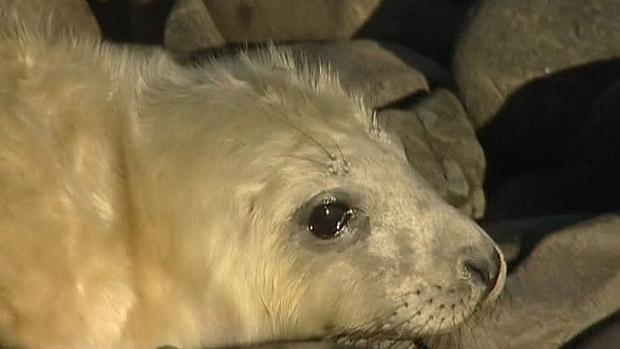 Filhotes de focas das Ilhas Farne, na costa nordeste da Grã-Bretanha (Foto: BBC)
