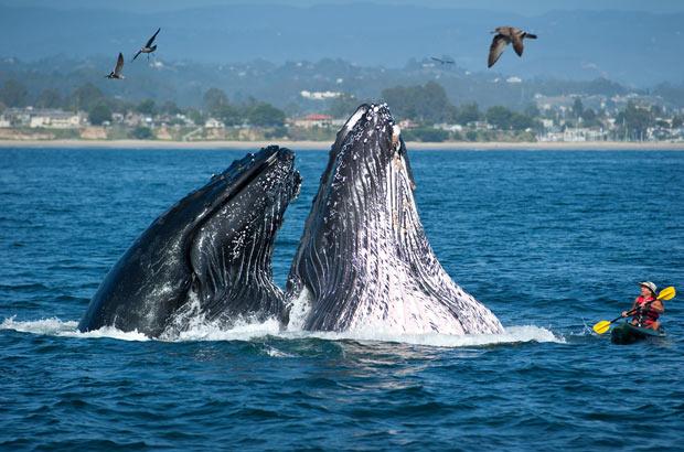 Homem em caiaque é surpreendido por duas baleias (Foto: Santa Cruz Conference and Visitors Council , Paul Schraub / AP)