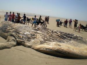Segundo biólogos, baleia encontrada na manhã desta sexta-feira morreu há 15 dias.  (Foto: Blog Peixe Gordo/ Colaboração)