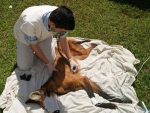 Lobo-guara analisado por estudante no Hospital Veterinário de Uberaba (Foto: Veterinário Cláudio Yudi)