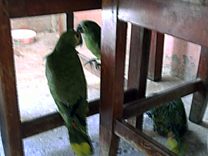 Entre as aves apreendidas, estavam papagaios. (Foto: Divulgação)