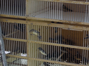 Passáros silvestres eram mantidos em gaiola na casa do suspeito (Foto: Divulgação)